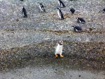 Video pinguinera